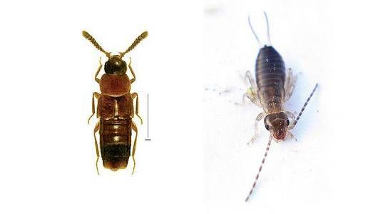 rove beetle vs earwig