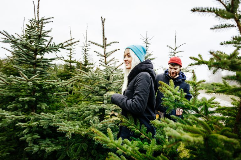 Young Couple Selecting Christmas Tree Together From Pine Forest