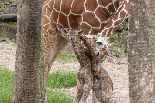 baby giraffe and Luna mom