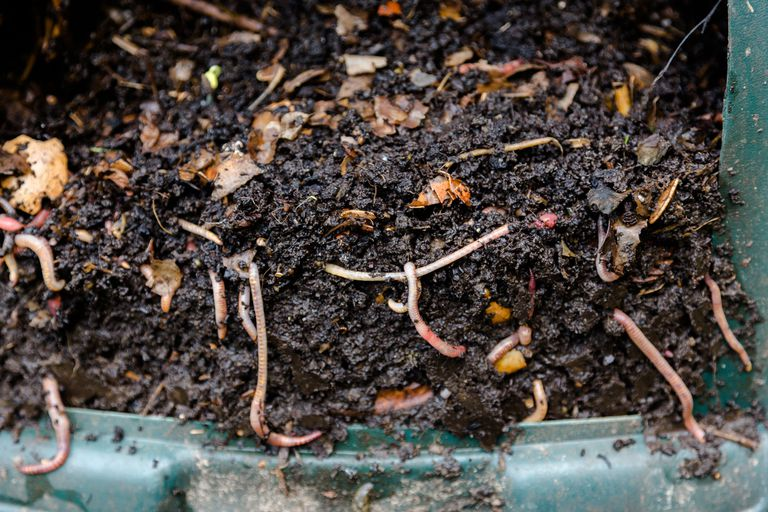 Earthworms in natural compost in a bin