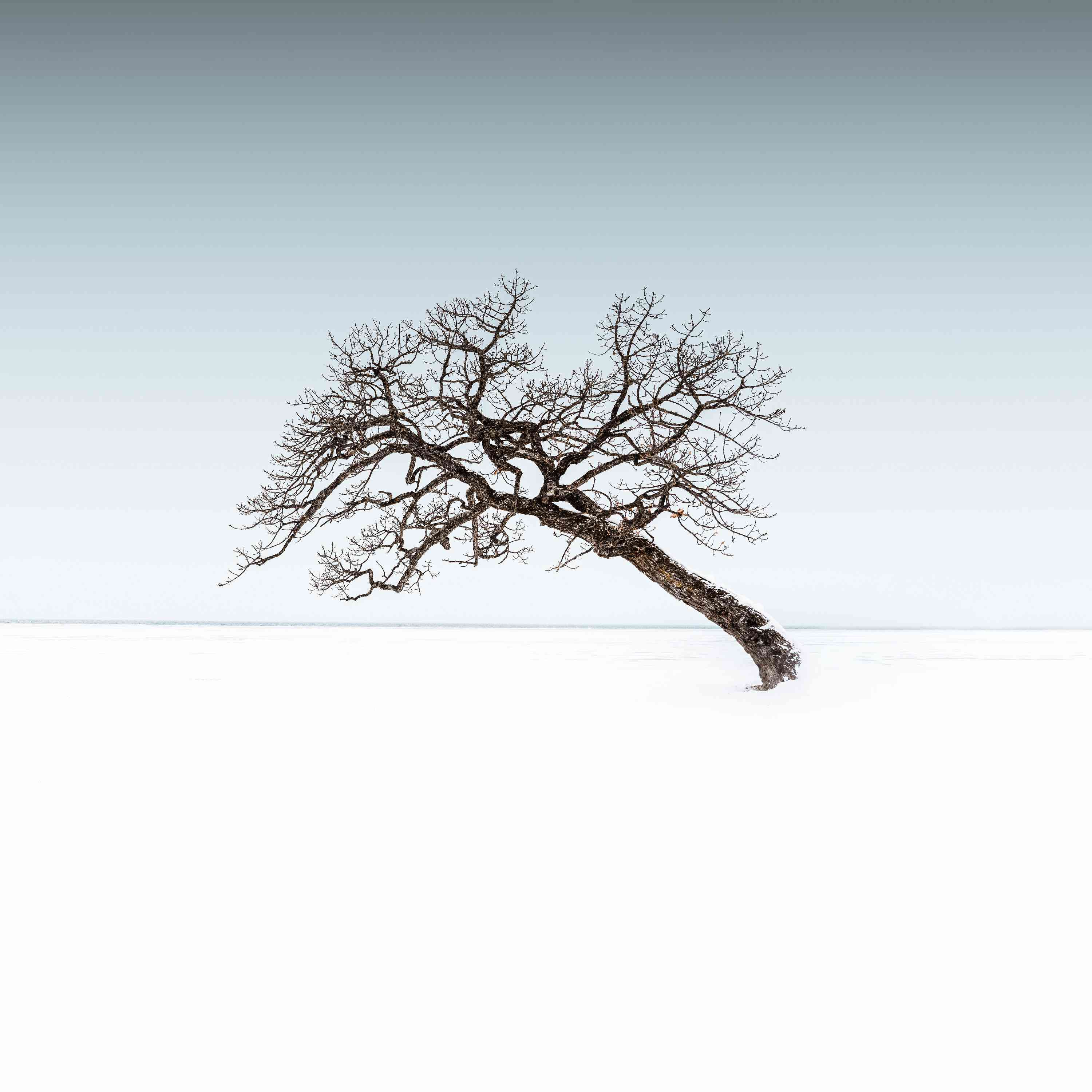 tree leaning in the snow