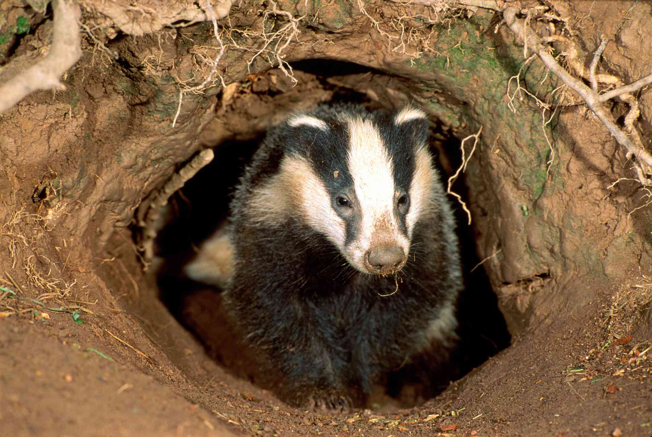 Eurasian badger standing at opening to its purrow