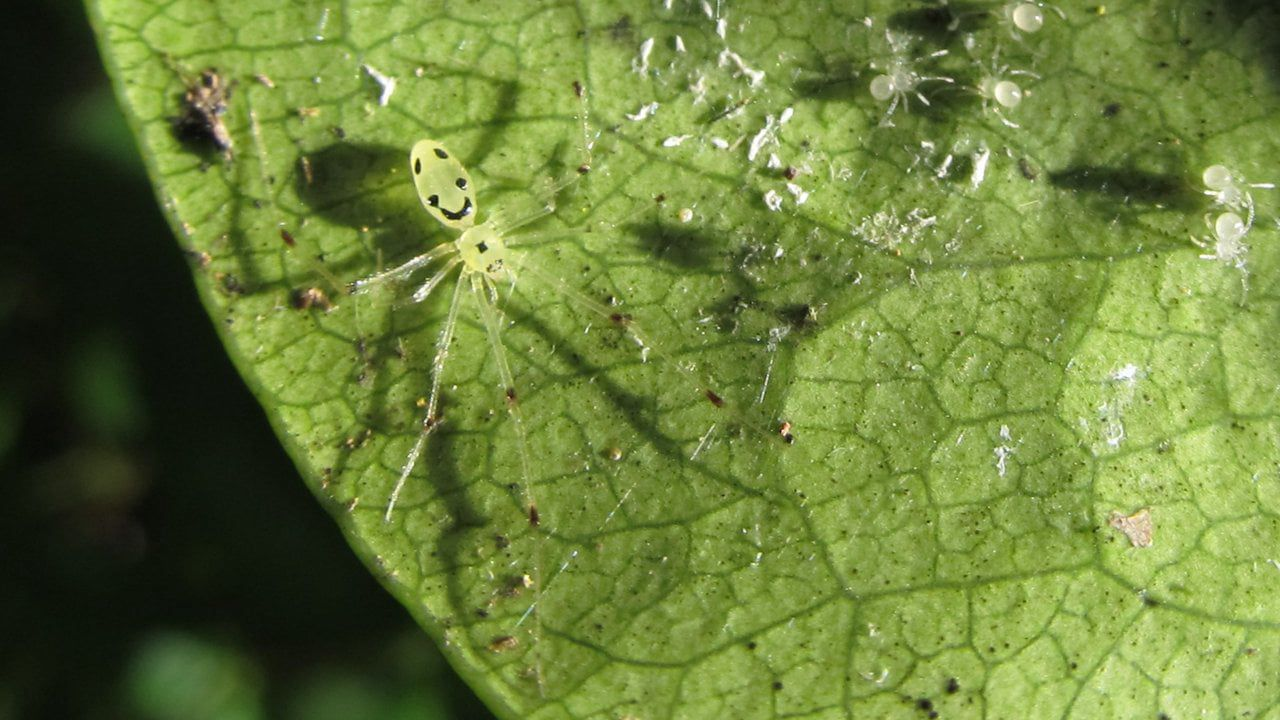 Happy face spider with spawn on a leaf.