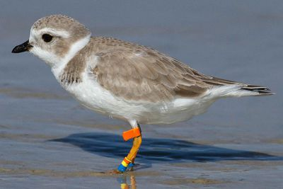 Plover With Identification Bands