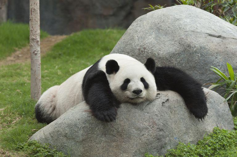 Todo lo que se necesitó para que estos pandas del zoológico se aparearan fue que los humanos se fueran