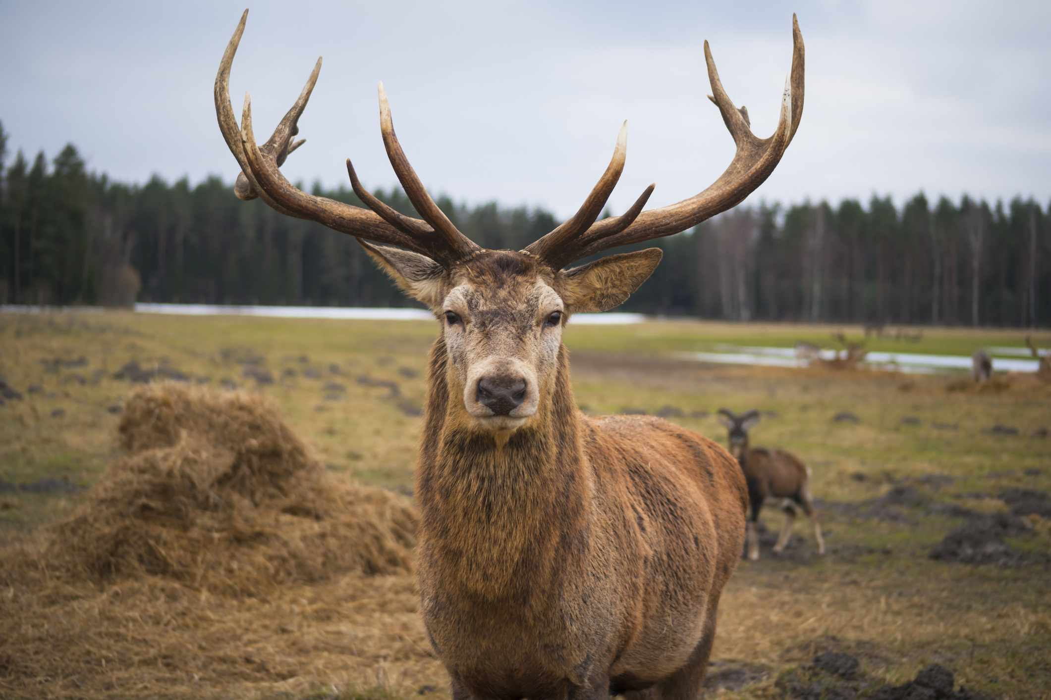 A red stag deer gazes into camera with two full antlers.