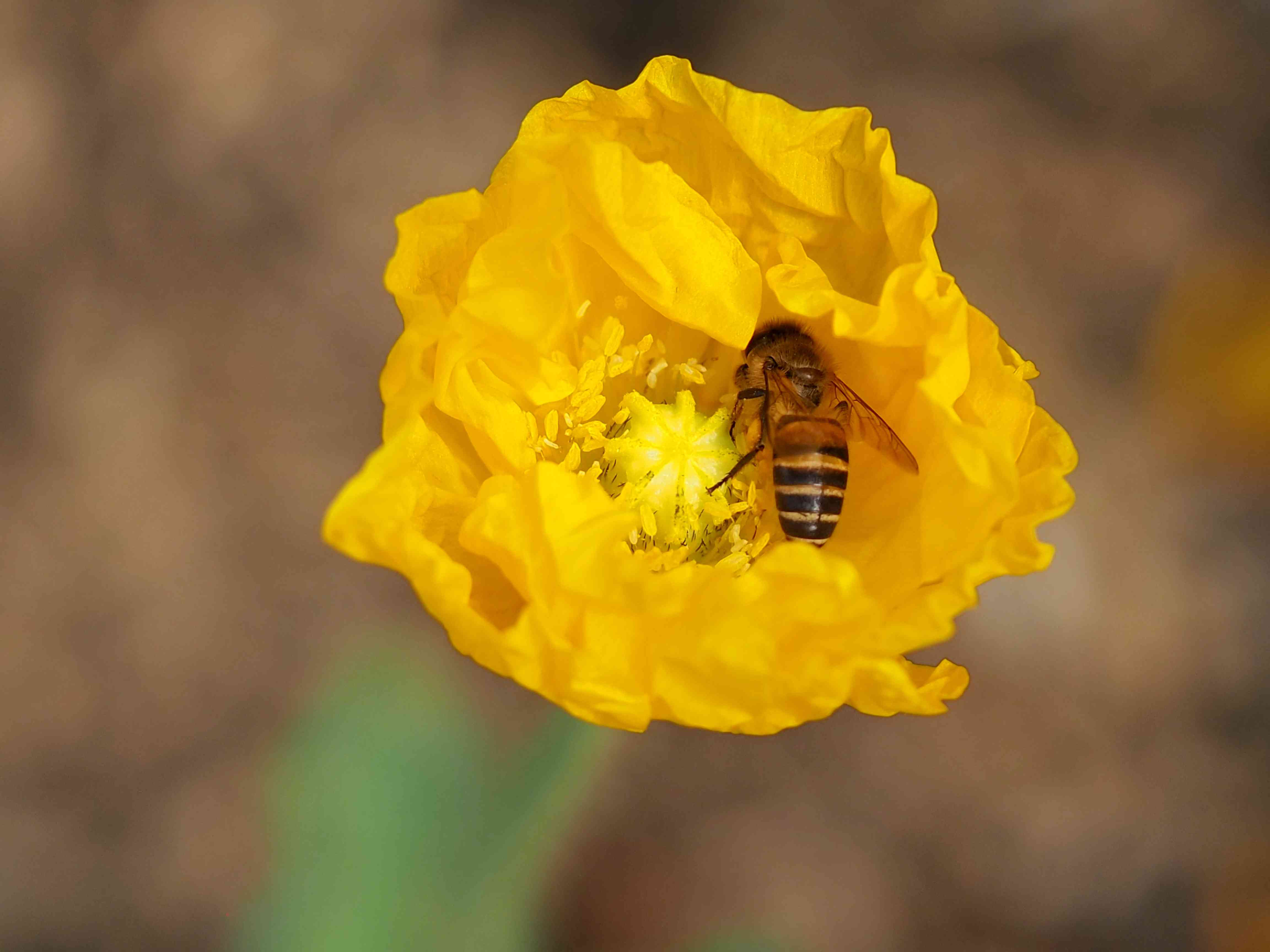 bee on poppy