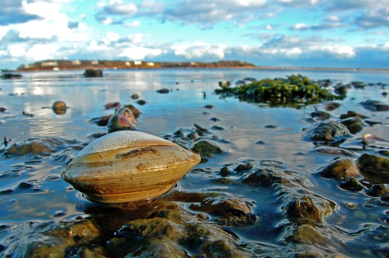 A hard clam mollusc native to the eastern shores in Cape Cod.