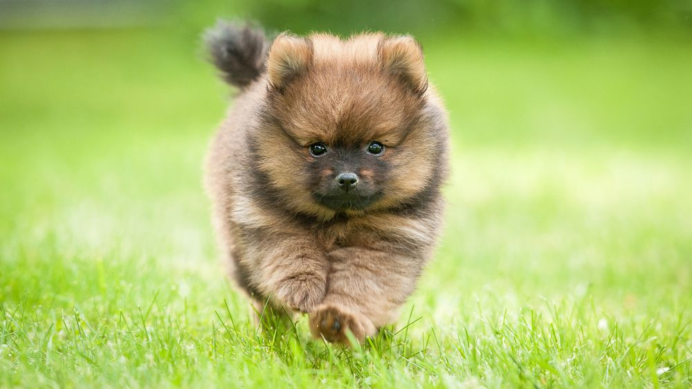 12 Of The World S Smallest Dog Breeds