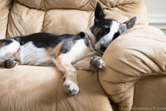 Niner asleep on the couch after a long day of urban agility training