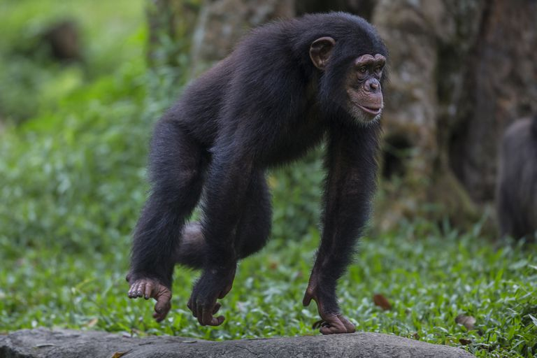 young male chimp runs through grass on hands