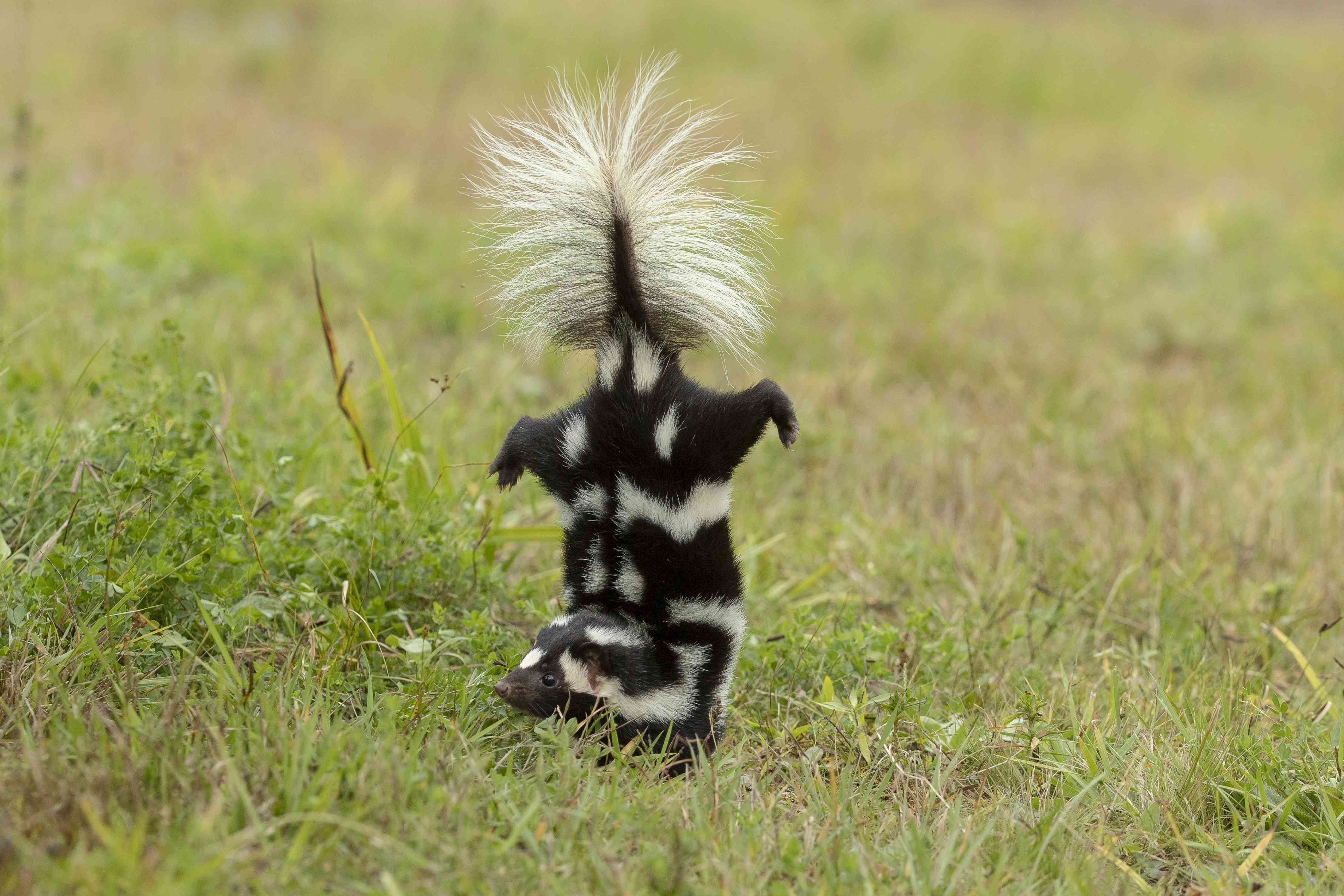 Eastern Spotted Skunk doing handstand before spraying