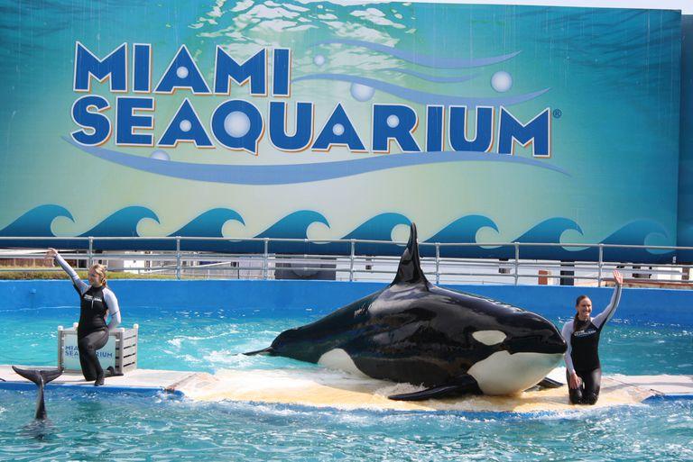 A Killer Whale performing at the Miami Seaquarium.