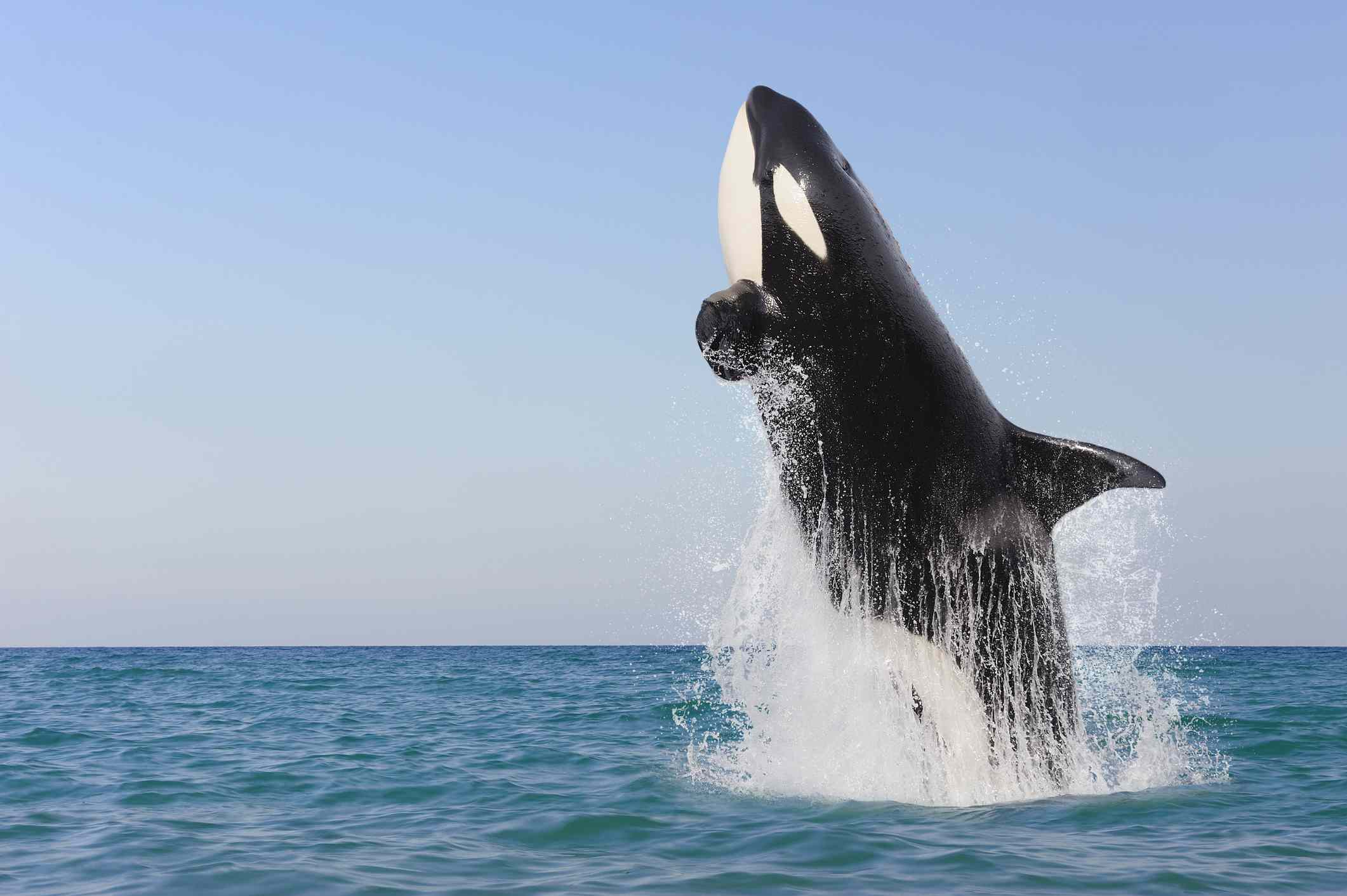 Killer whale jumping out of the water.