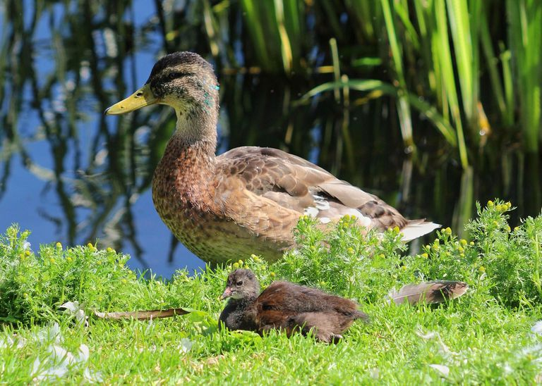 A mama duck and her chick by a pond