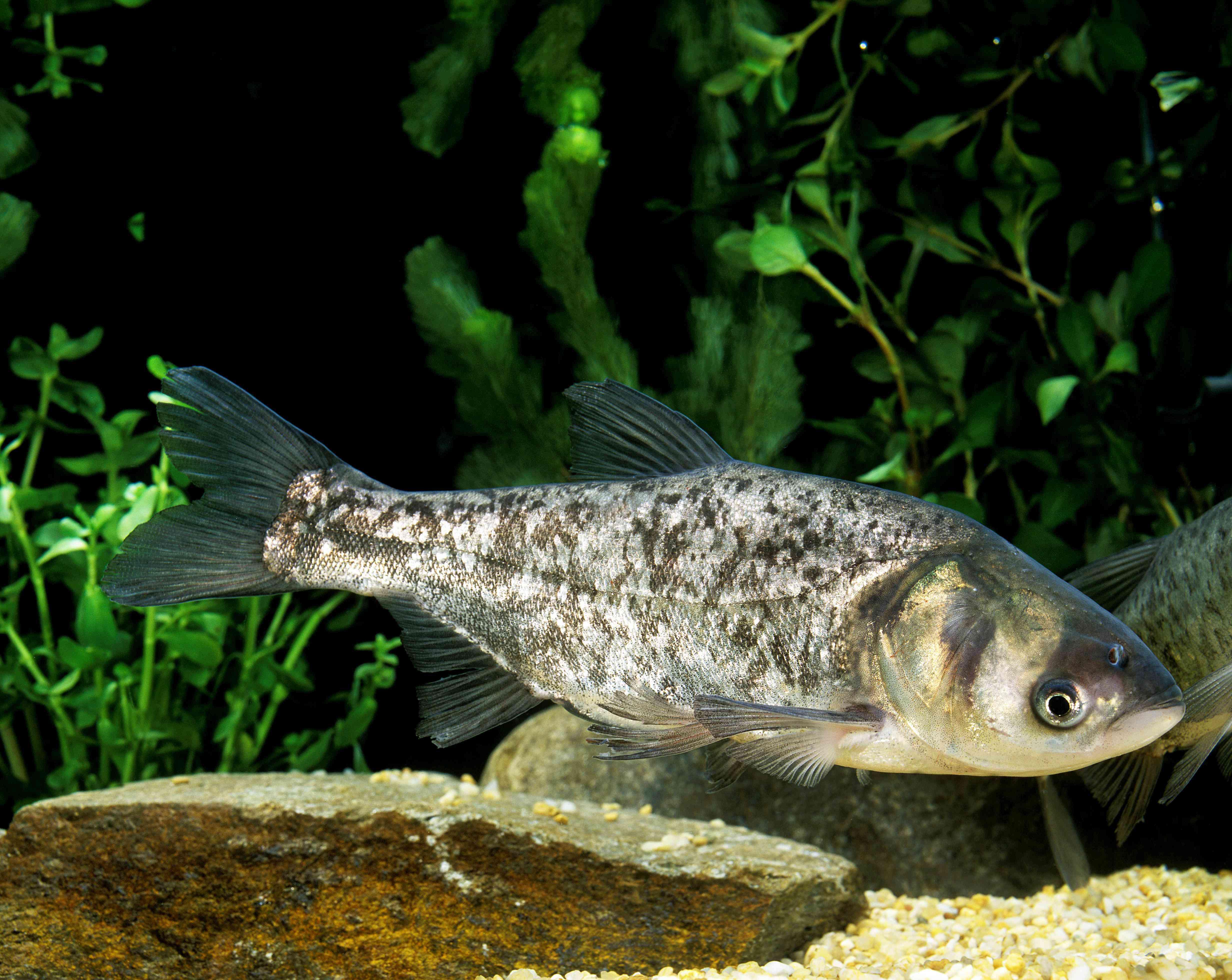 Silver Carp, hypophthalmichthys molitrix, Adult