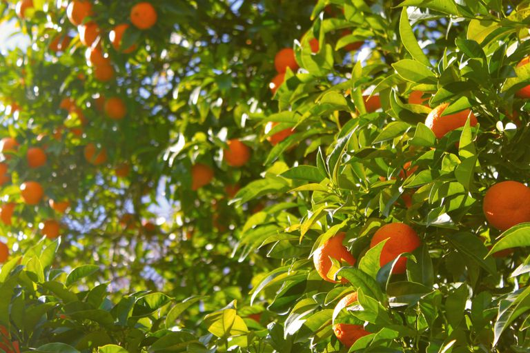 Oranges growing on a tree with a beam of sunlight shining on it