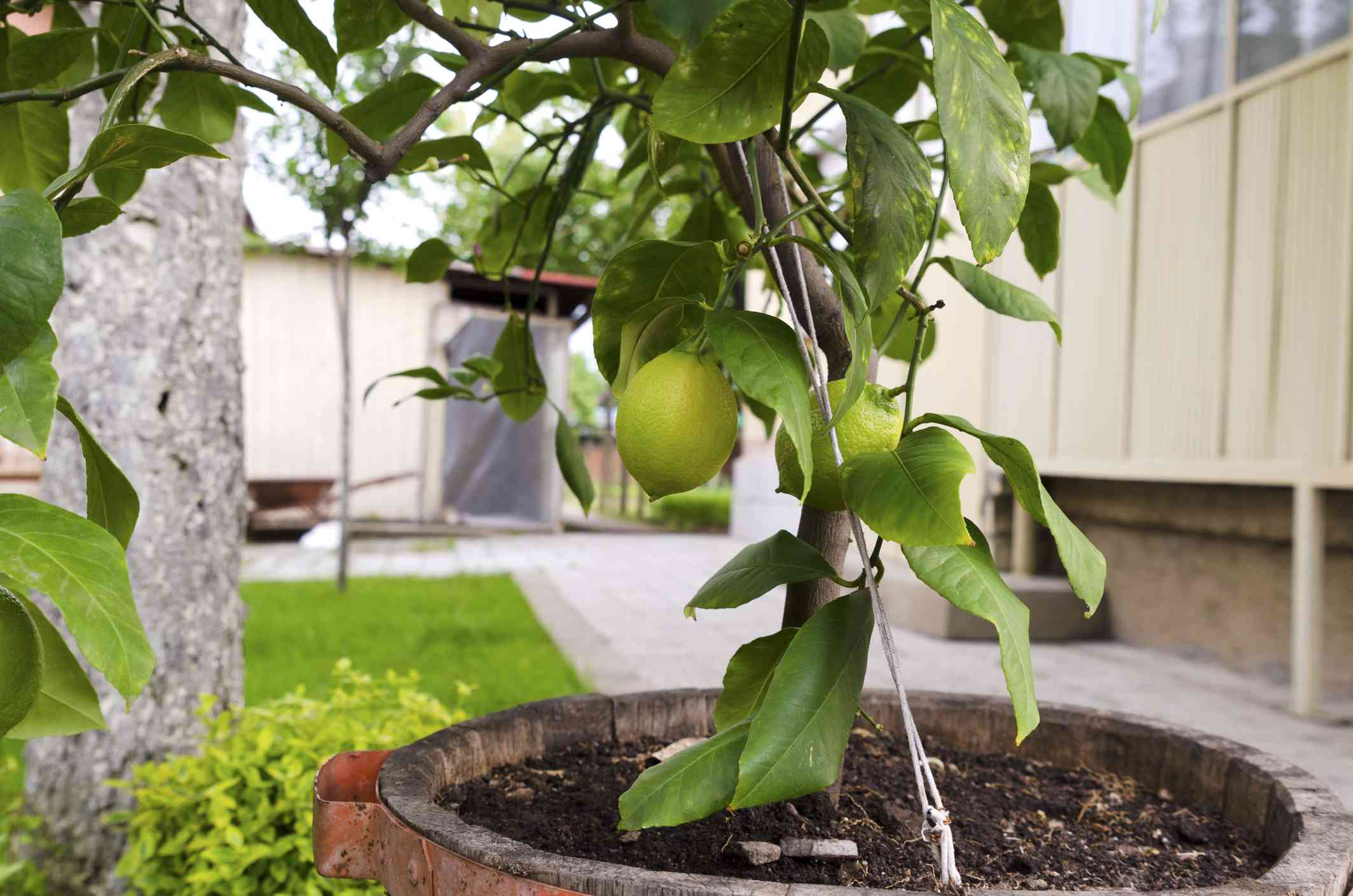 Closeup of a lemon tree in a pot in an outdoor garden.