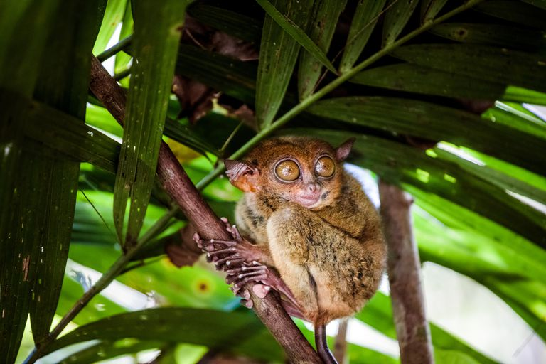 A brown Phillipine tarsier with huge amber eyes clutching a palm tree