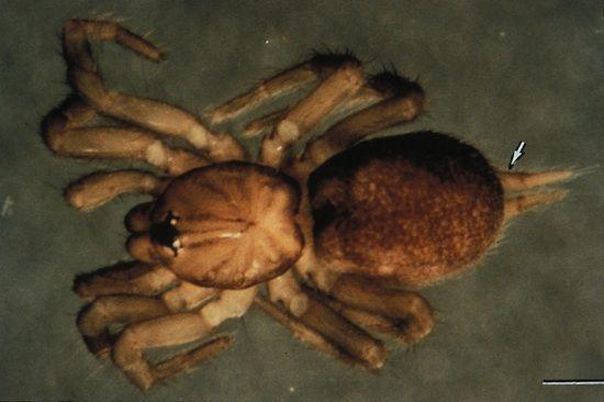 A specimen of a spruce-fir moss spider on a flat surface