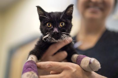 cat burned during Camp Fire with tilapia bandages on