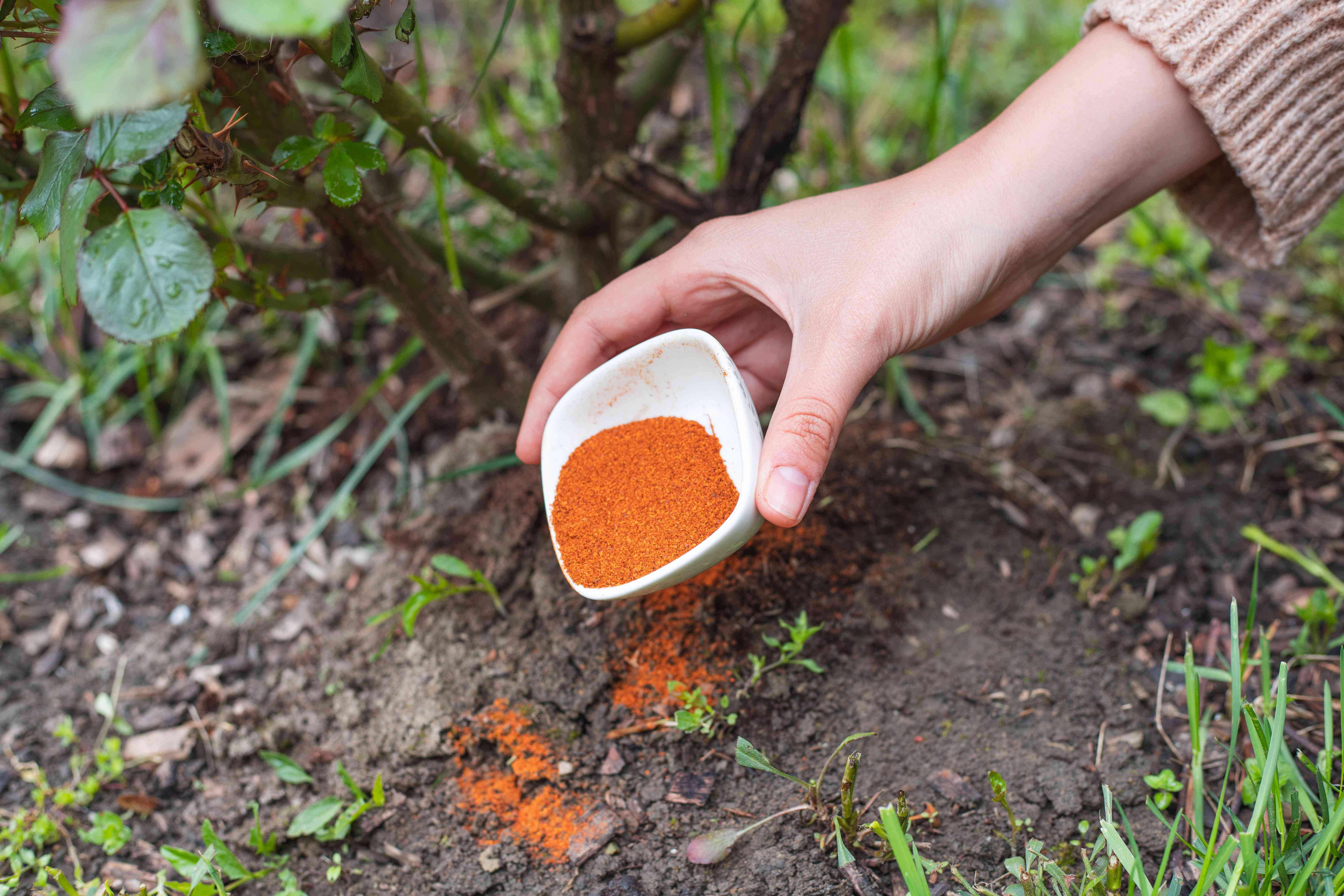 hand dumps small bowl of expired spices near outside plant to deter animals