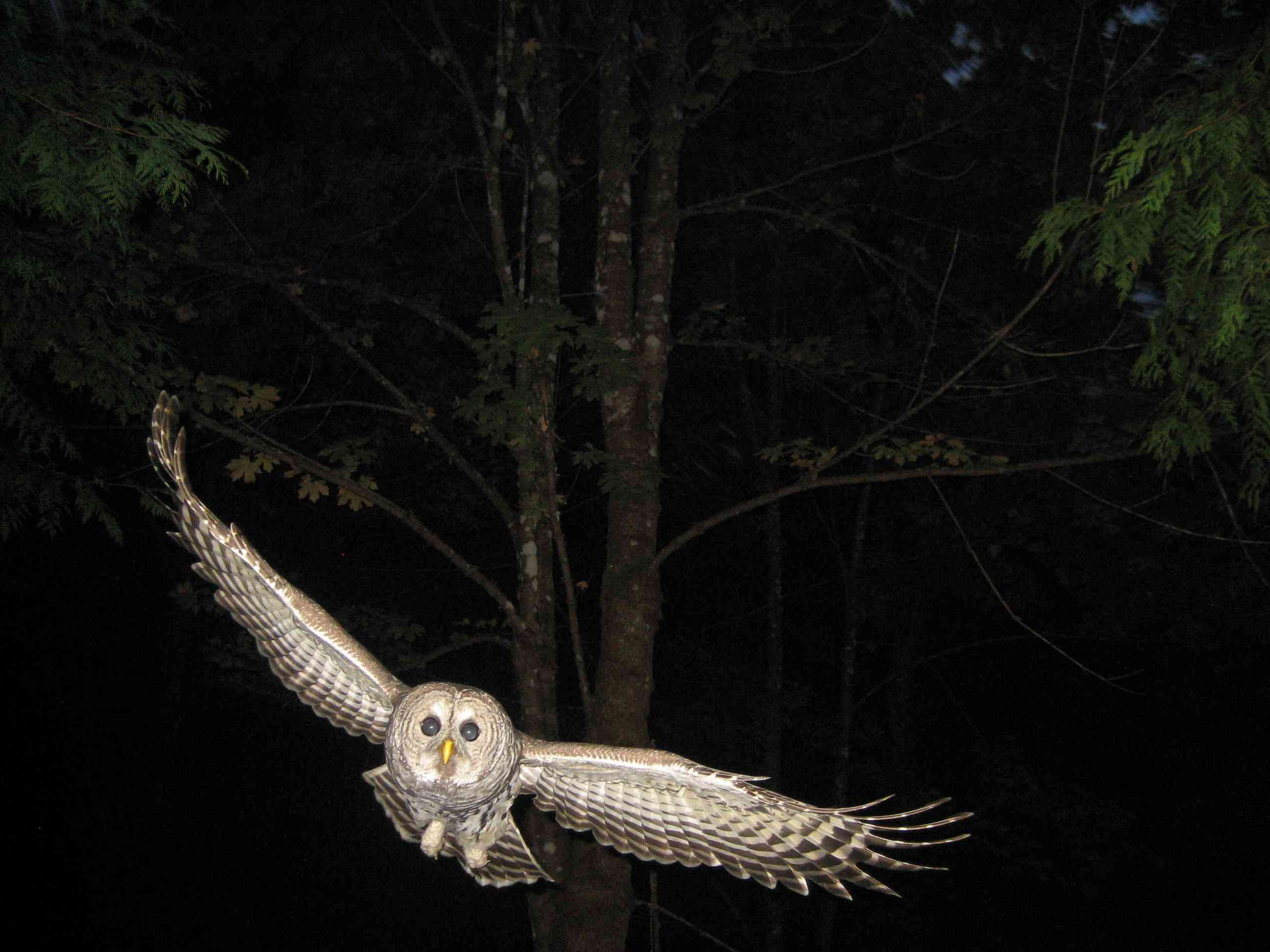 barred owl flying at night