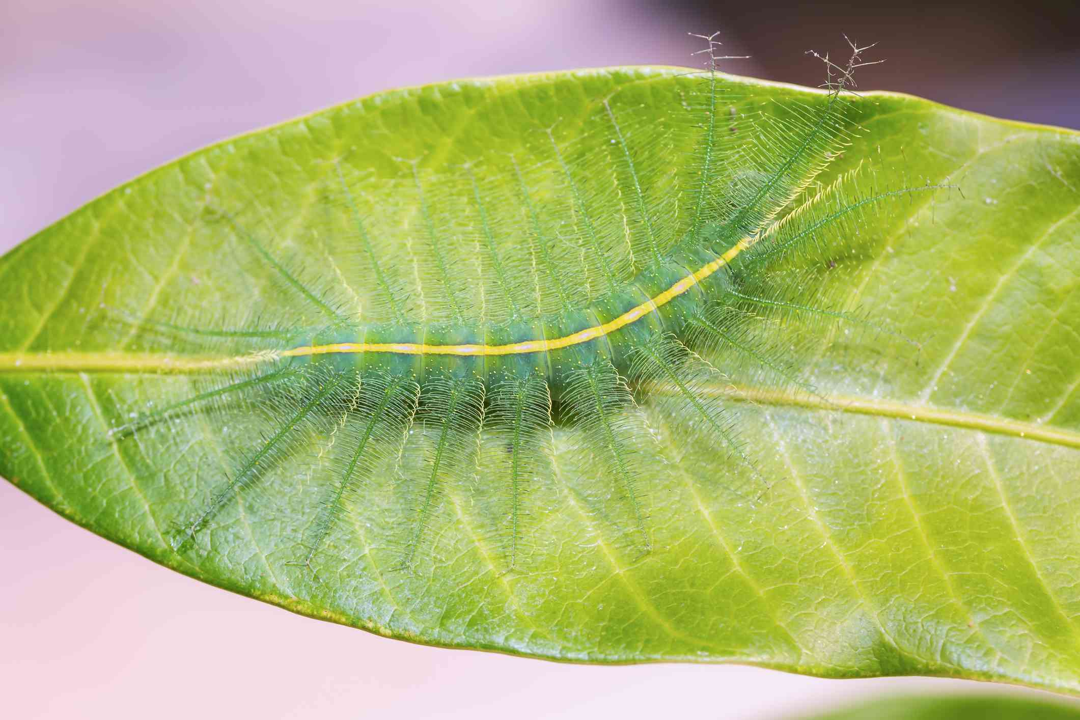 furry green caterpillar extended on large mango leaf