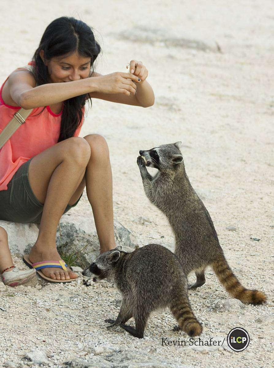 pygmy raccoons photo