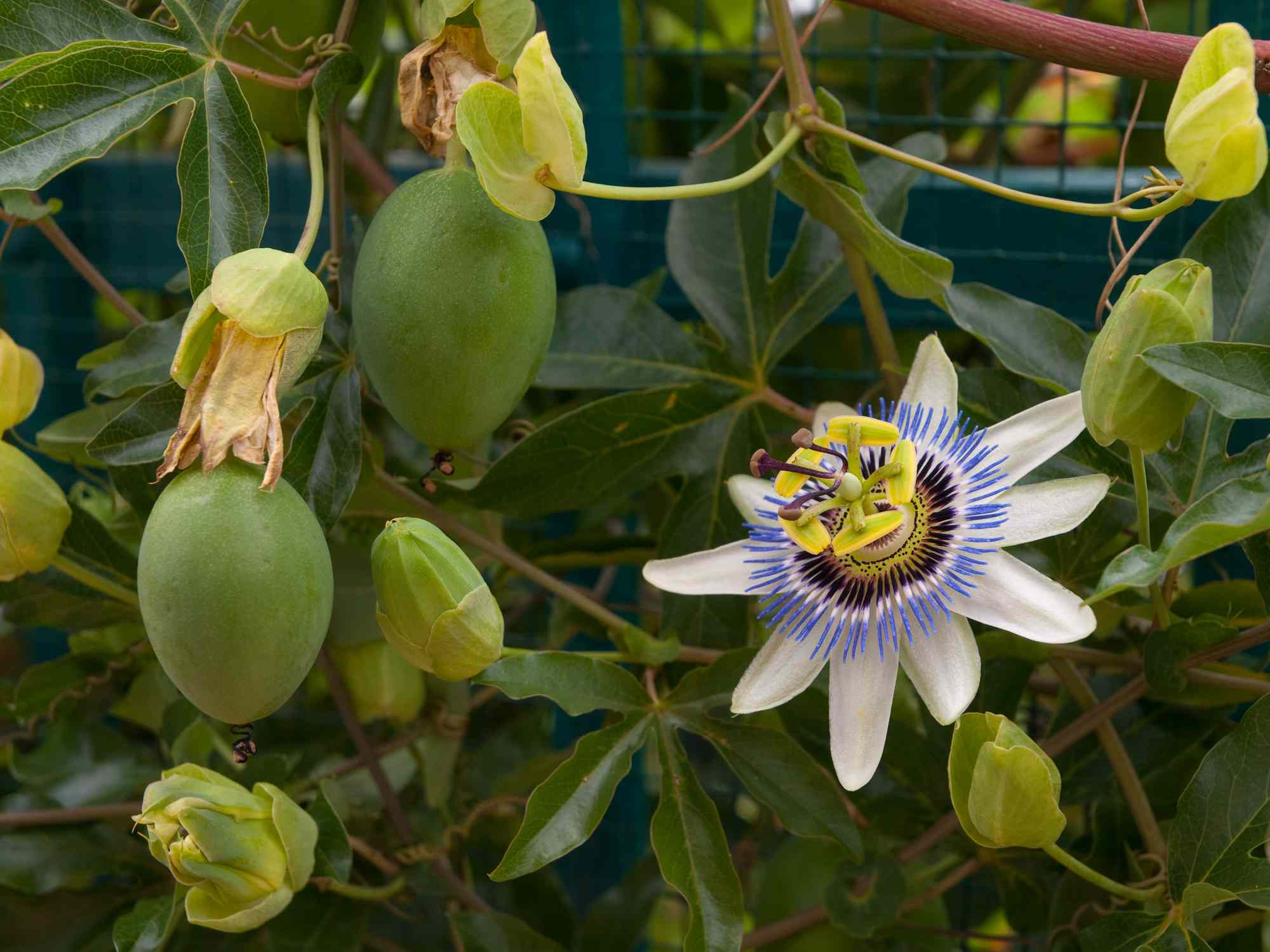 Flower on a passionfruit vine with growing fruit
