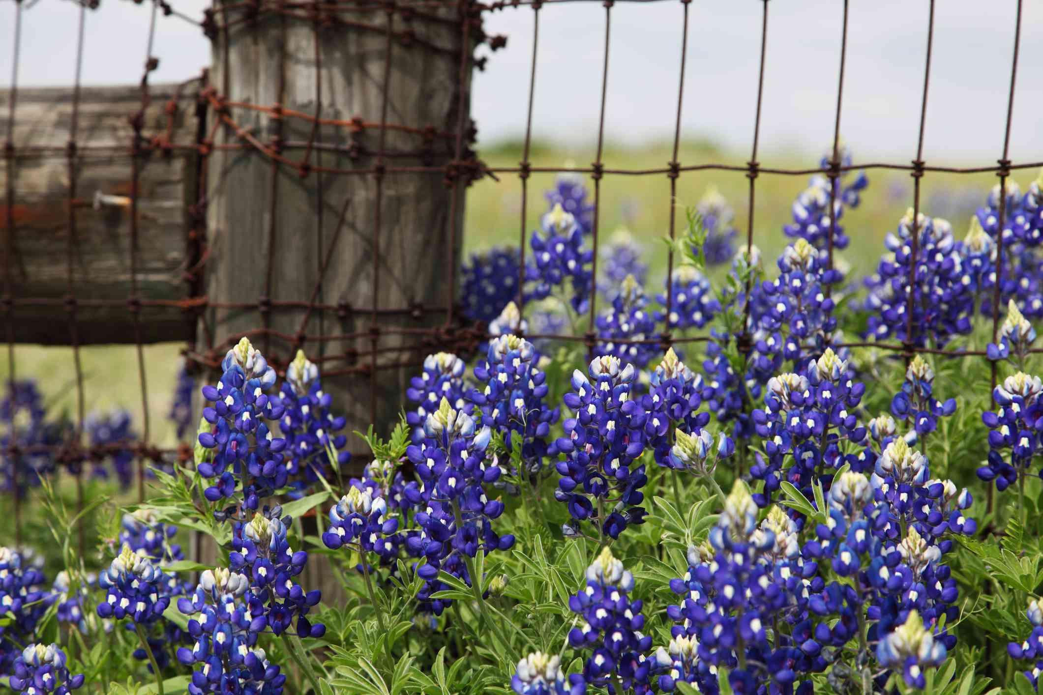 bluebonnets and fence XXXL