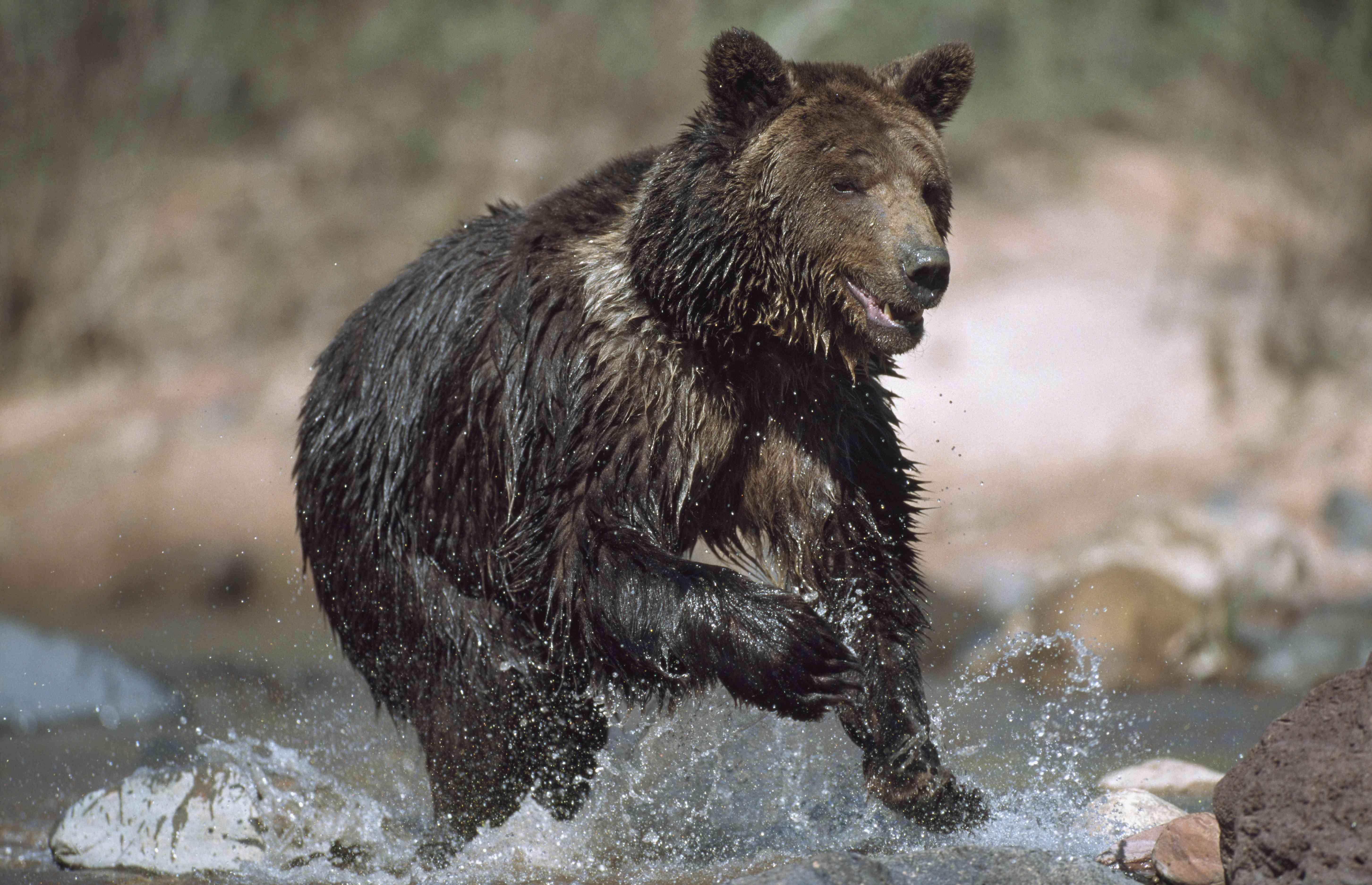 A grizzly bear runs through a river.