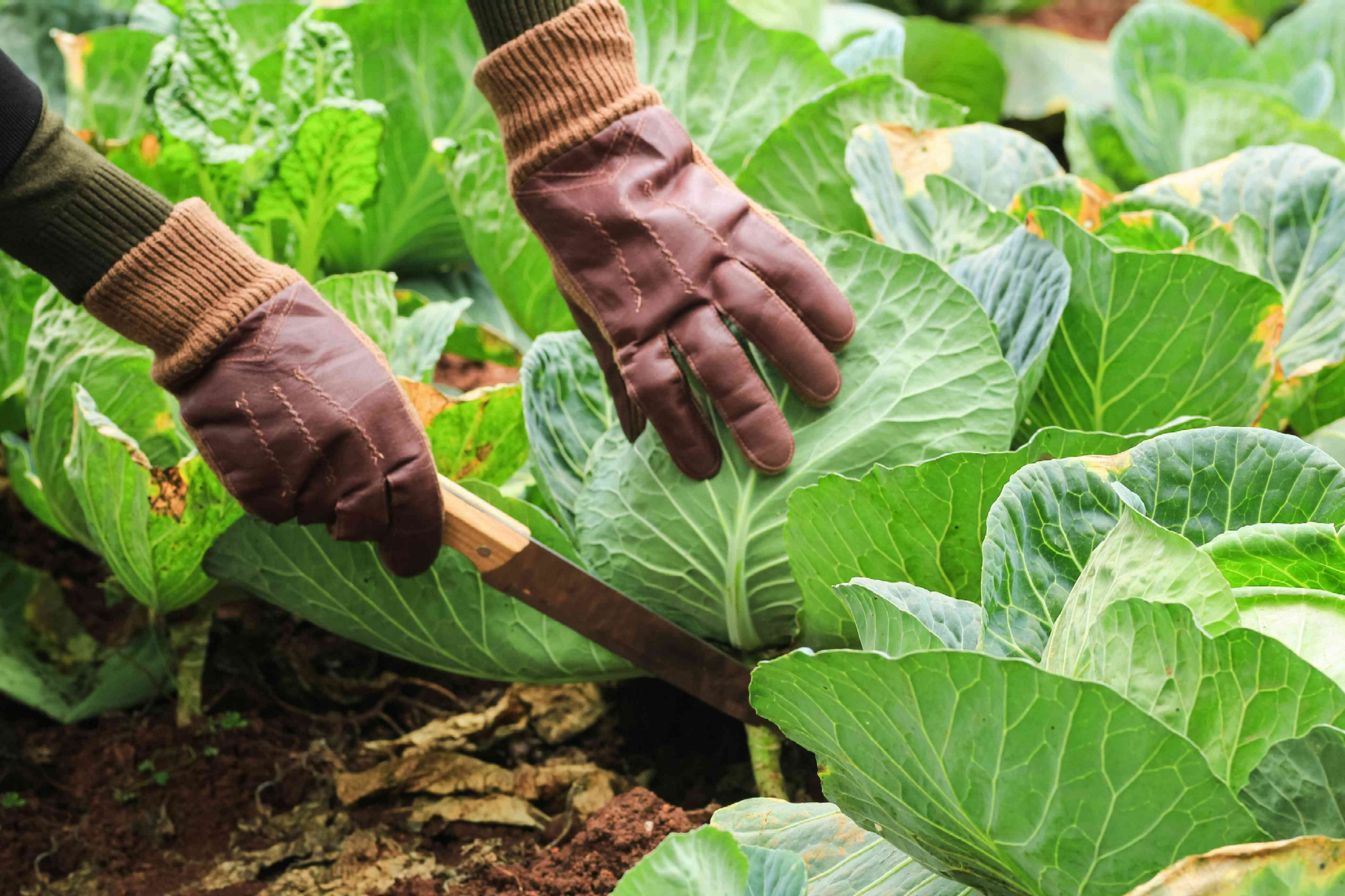 person wearing gardening gloves harvest large cabbage by cutting with large knife at base