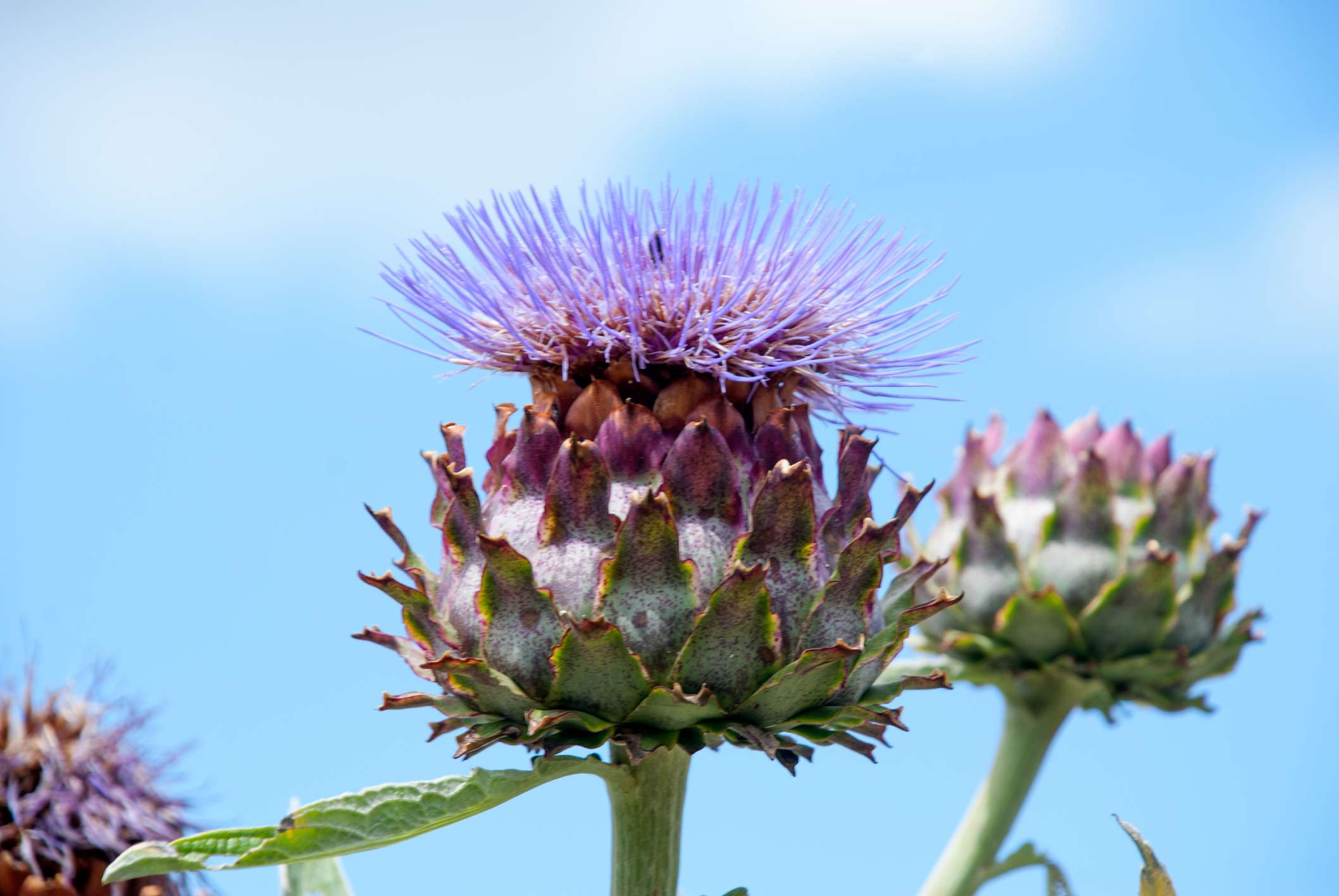 A blooming artichoke with a large bud and purple flower