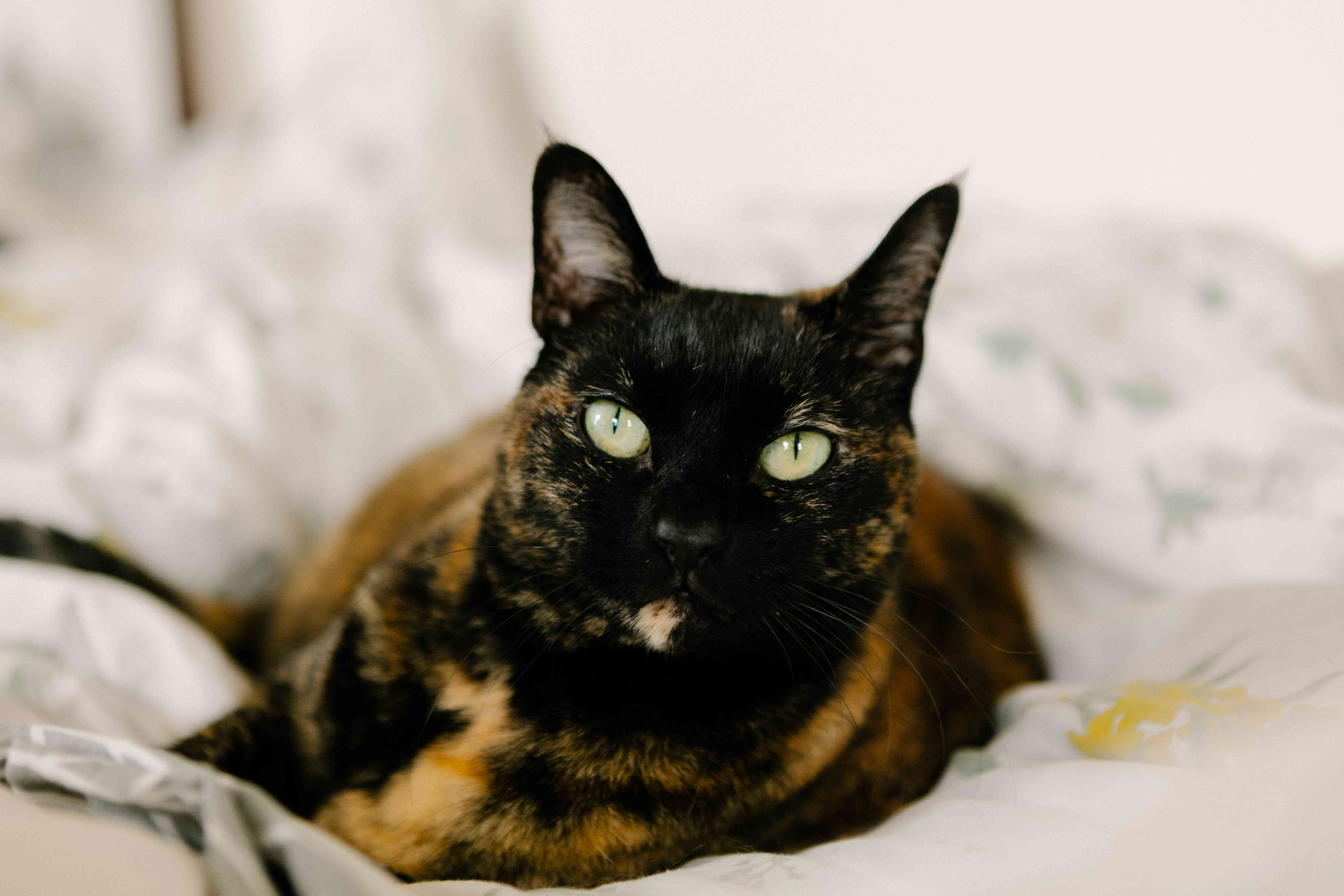 tortoiseshell cat with green eyes stares intently while sitting on white blanket