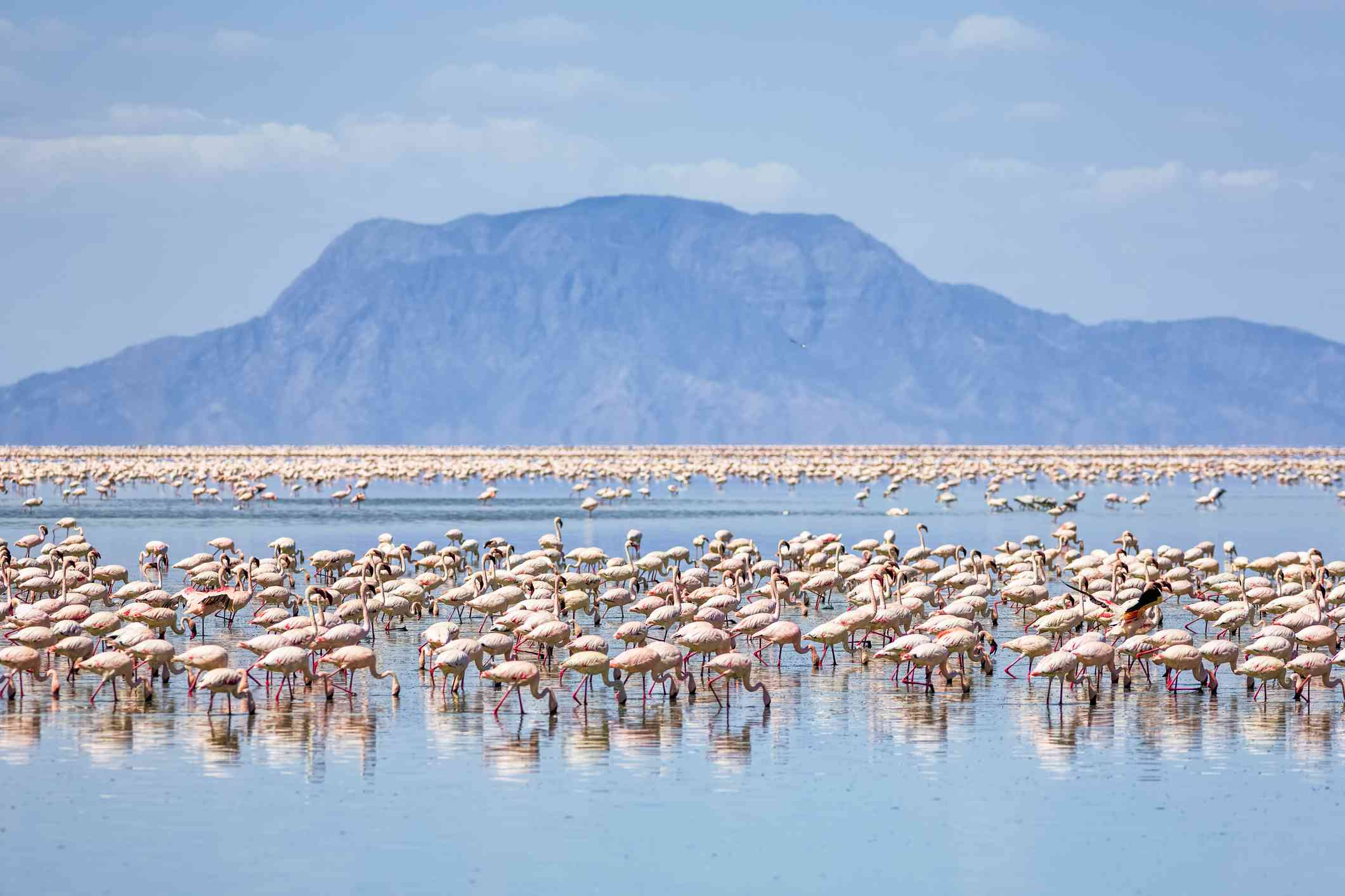 Flamingos in a lake with a mountain in the background.
