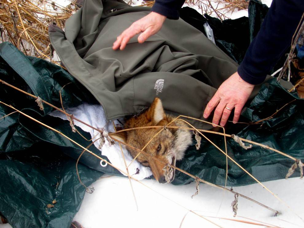 collaring a coyoe