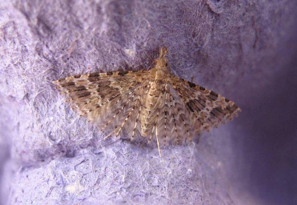 Twenty plume moth