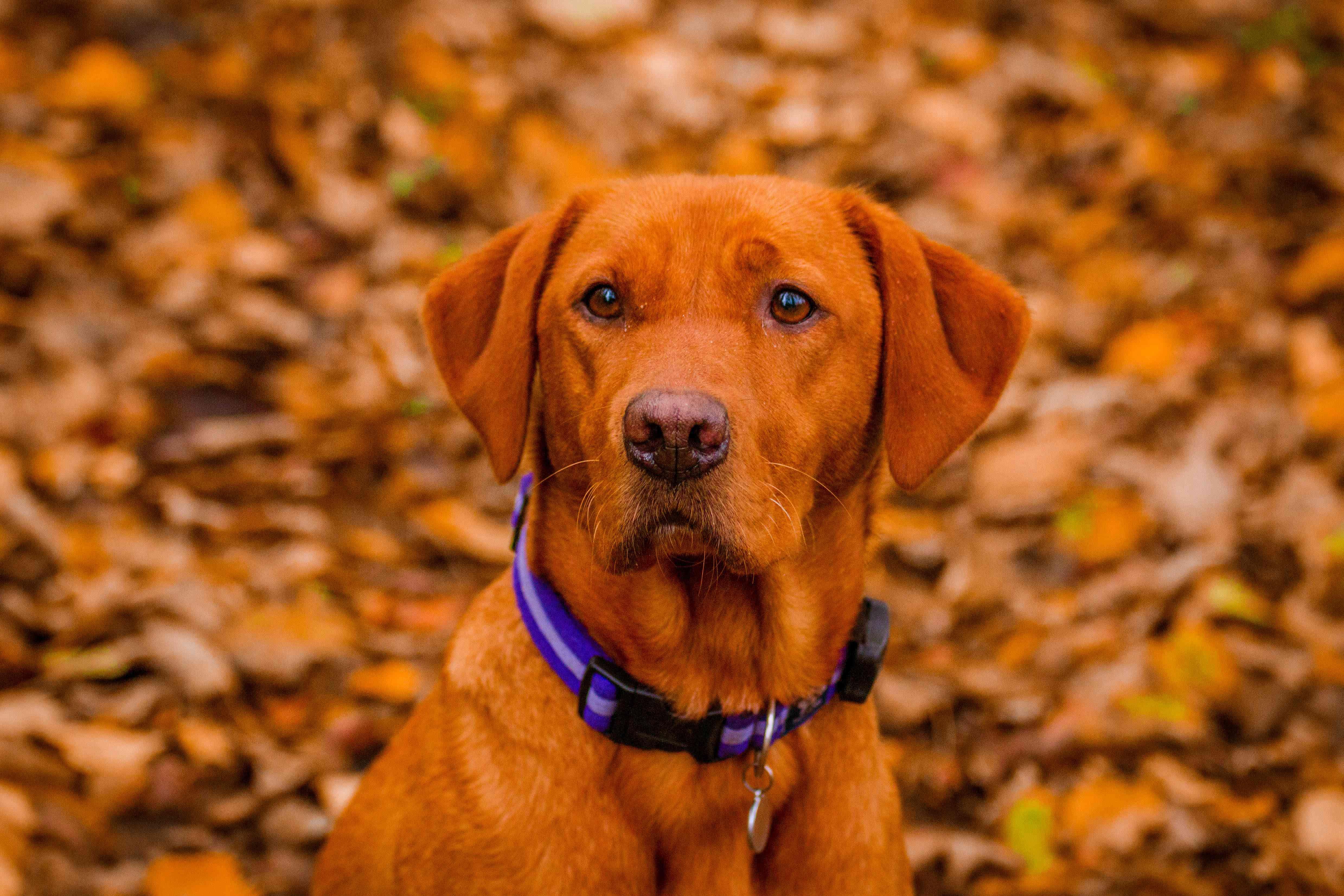 An Outdoor Portrait of a Fox-Red Labrador Retriever in Autumn