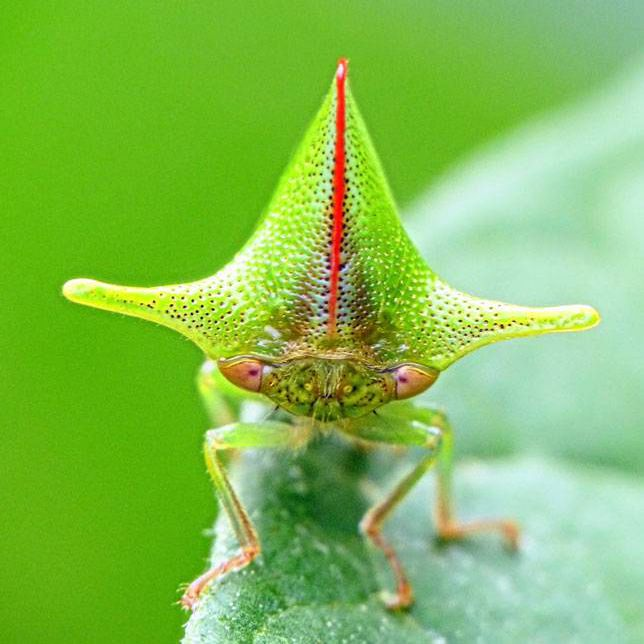A treehopper with a funky head