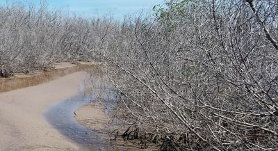 A research study led by East Carolina University assistant professor David Lagomasino studied potential reasons for mangrove forest dieback in Florida after Hurricane Irma in 2017. His findings could have implications for how other states, like North Carolina, manage the coast to prepare for extreme weather events.