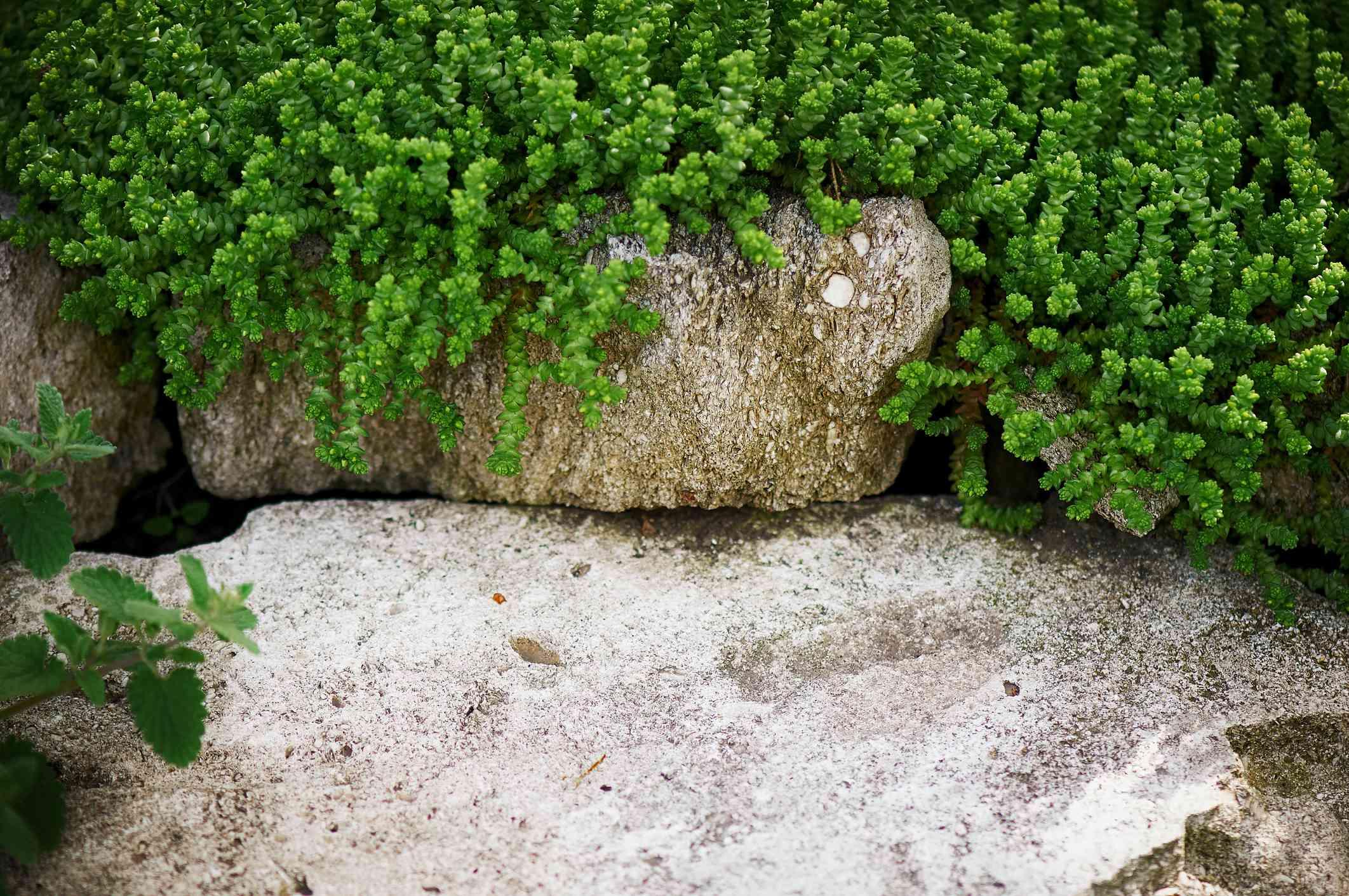 Young stonecrop (sedum)