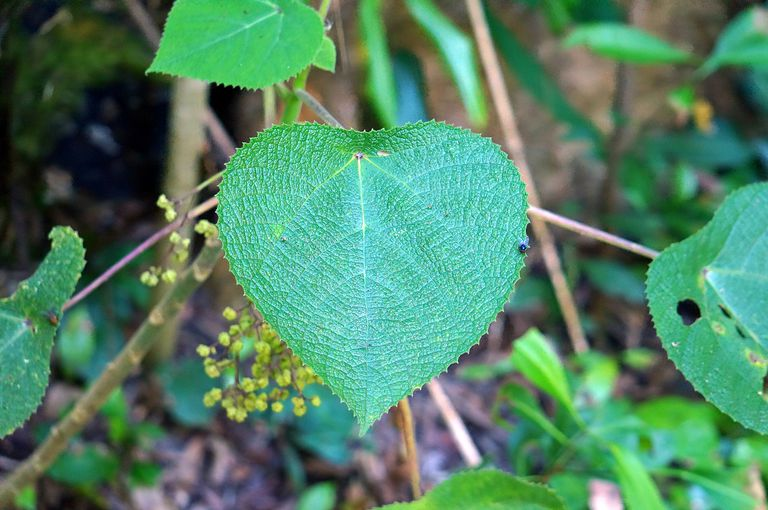 Stinger leaf of the gympie-gympie plant