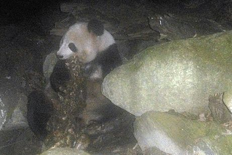 photo cropped giant panda eating meat conservancy