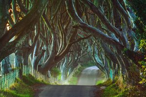 Morning view of the Dark Hedges in Northern Ireland
