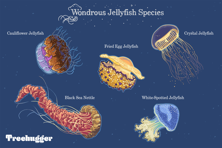 wondrous jellyfish species