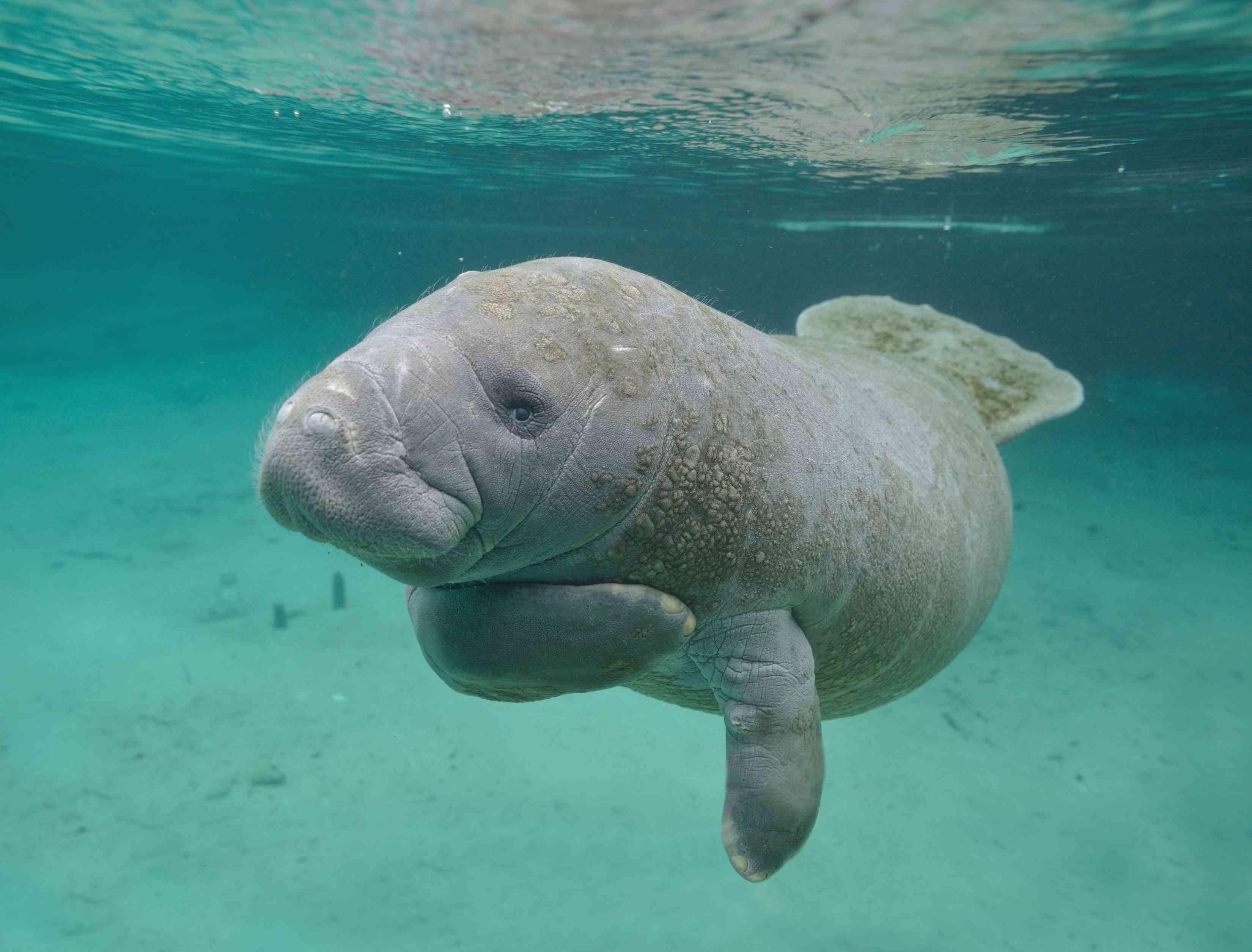 chubby gray manatee touches body while swimming underwater