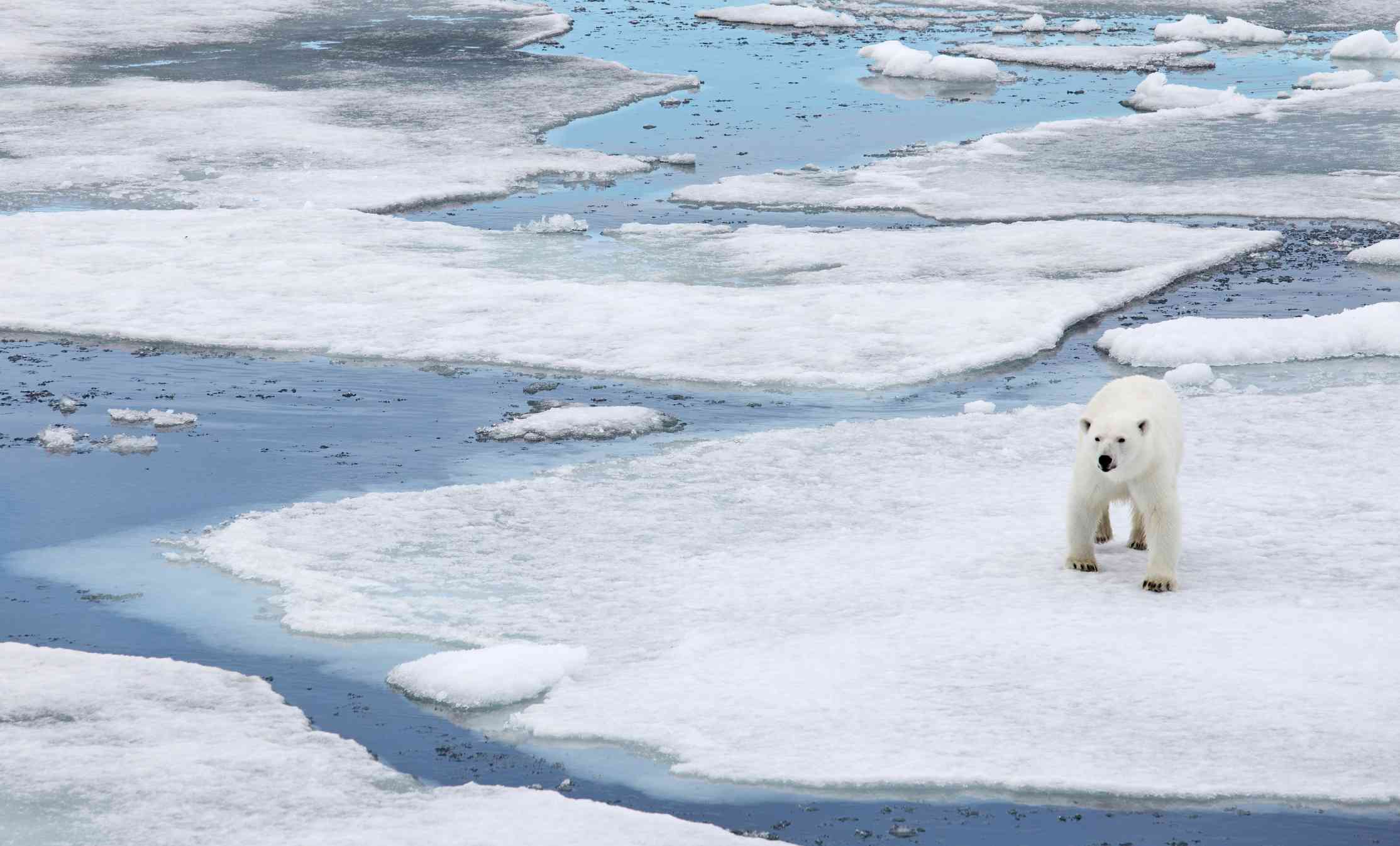 Polar bear walking on partly-melted Arctic sea ice.