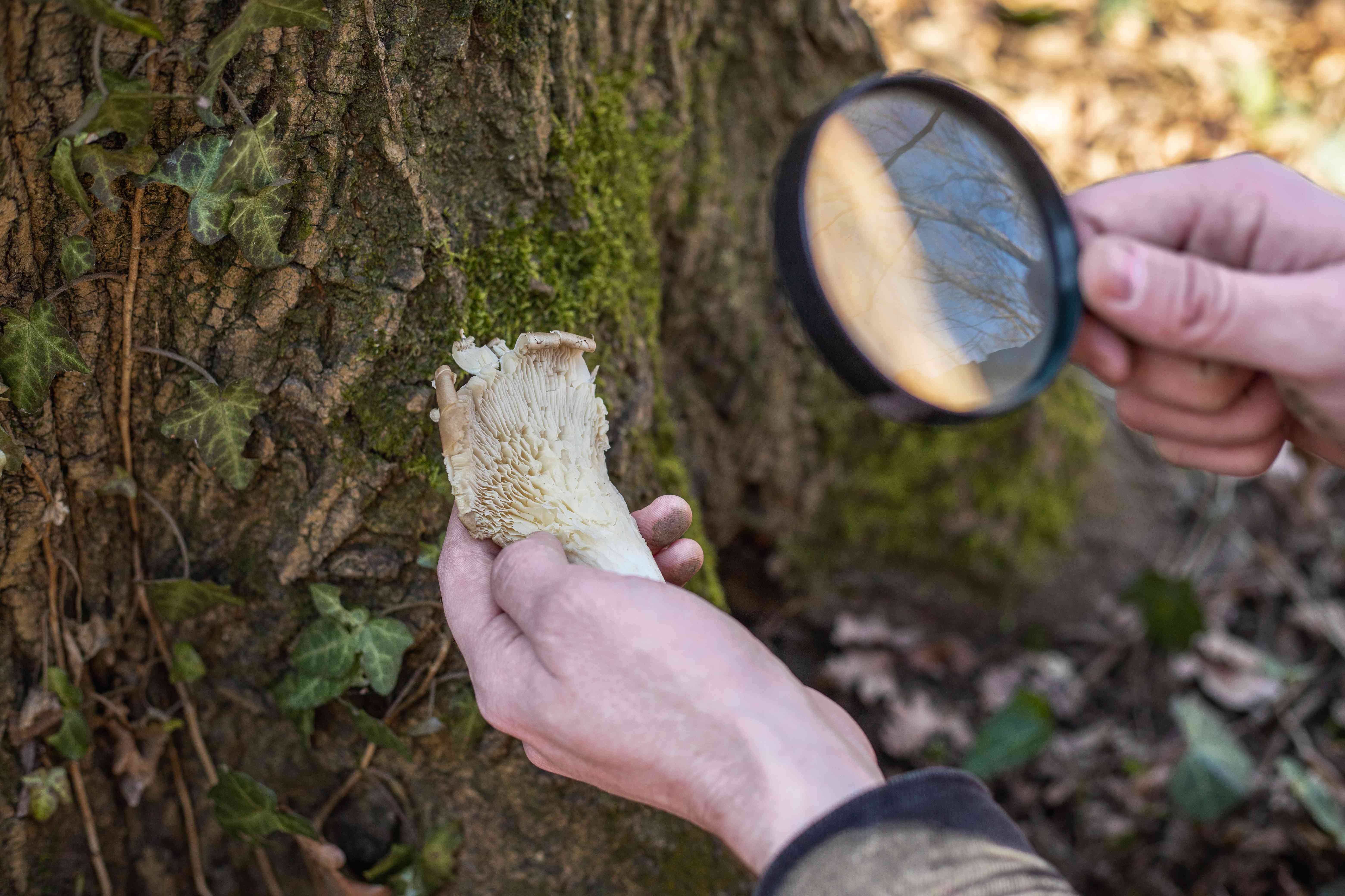hands hold a magnifying glass up to mushroom found in woods