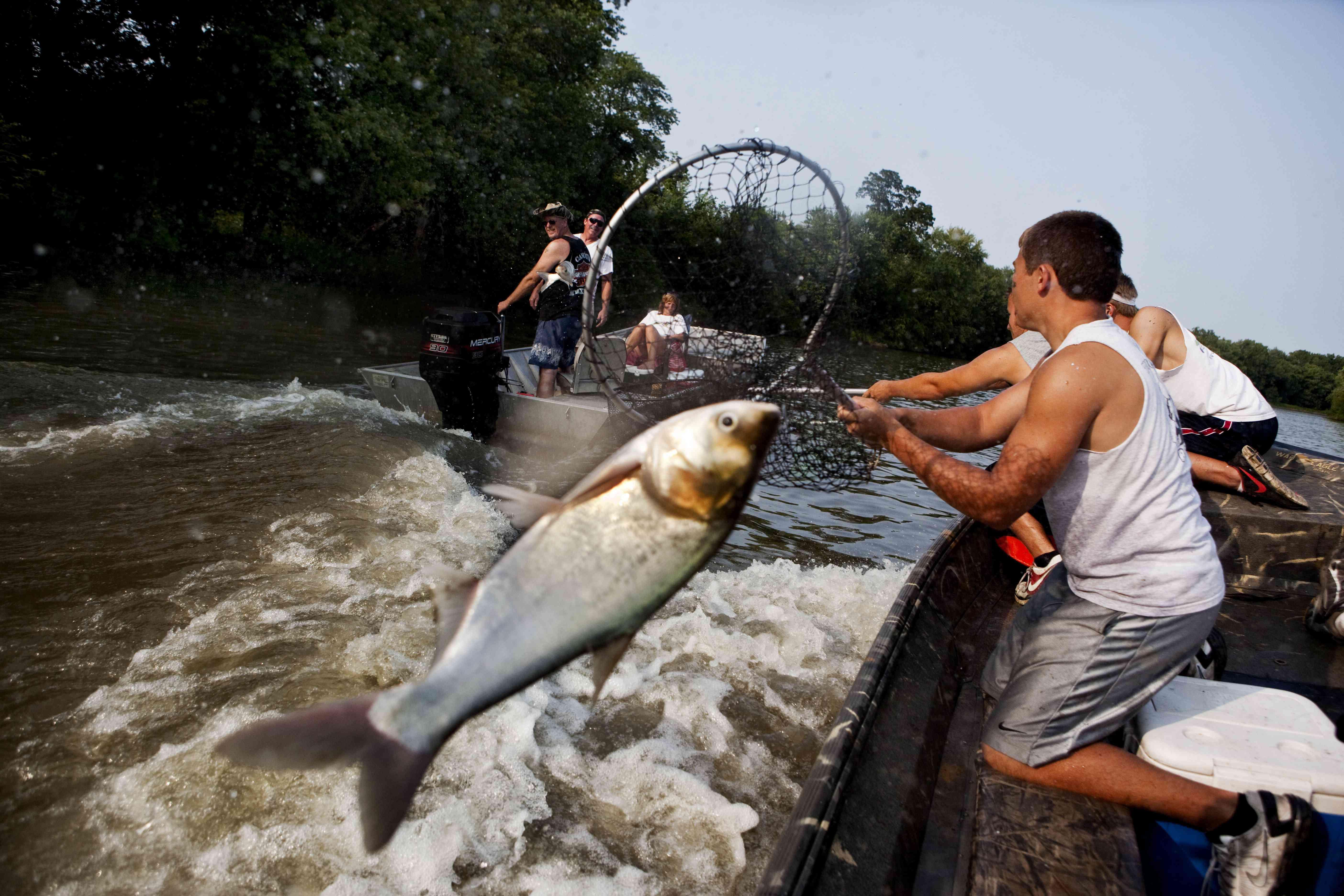 jumping silver Asian carp
